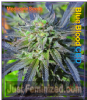 Medicann Blue Blood CBD Female 5 Weed Seeds